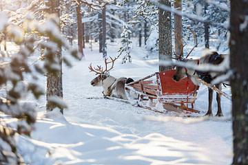 Rentiere im Wald mit Einheimischen