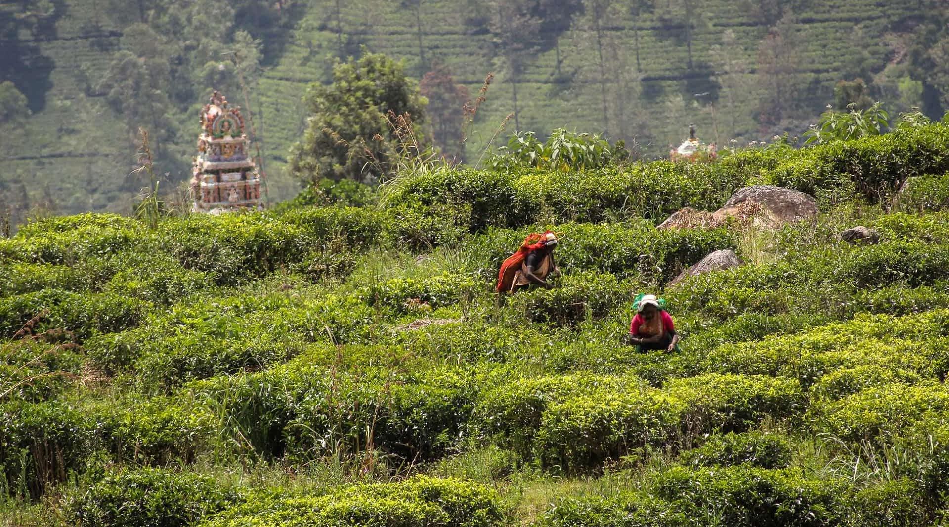 Teeplantagen vom Zug aus gesehen